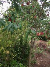 Pfirsich Baum Stecklinge / Duftstrauch Obst für den Balkon Garten winterhart