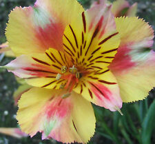 Peruvian Lily   Dr. Salter's Hybrid Mix   Alstroemeria litgu   35 Seeds