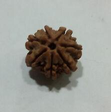 7 Face Mukhi Rudraksha Beads - Mahalakshmi Rudraksha Genuine Authentic Rudraksha
