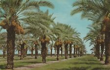 """*Dates Postcard-""""Giant Date Clusters...Ready For Harvesting"""" (PM w/ 2 Stamps)"""