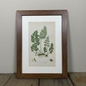 Original Antique Victorian PRATT Fern Print Botanical 1862 Framed