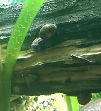X-Small Ramshorns Wild Type- 10 Snails Per Order