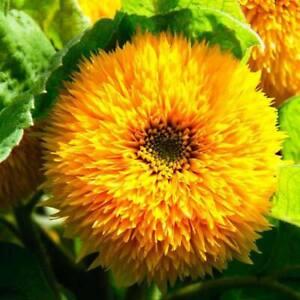 SUNFLOWER Double Dazzler 10 Seeds FLOWER GARDEN cottage SPRING SUMMER fast grow