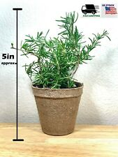 Rosemary Plant , Live Shipped potted Herb Garden
