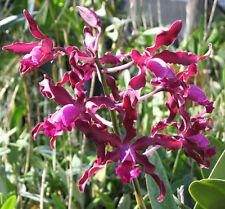 Orchid Cattleya Myrmec Mem Louise Fuchs