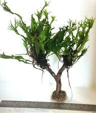 Java Fern Windelov Jungle Tree Live Aquarium Plant Moss Shrimp Marimo #1