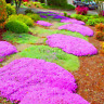100 PCS Seeds Bonsai Flower Rock Ground Cover Plants Easy To Grow Free Shipping