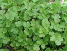 CORIANDER 'Cilantro Slow Bolting' 50 seeds culinary herb garden