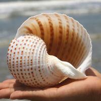 Natural Conch Shells Aquarium Fish Tank Ornaments Landscape Sea Snail Decor Chic