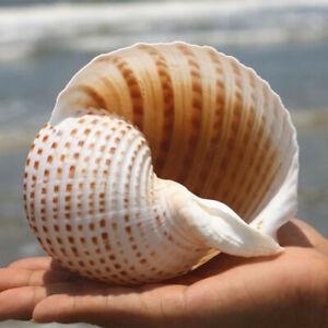 Natural Conch Shell Aquarium Fish Tank Ornament Landscape Sea Snail Craft Adorn