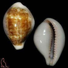 Cypraea Zonaria angelicae, Gabon, Cypraeidae sea shell