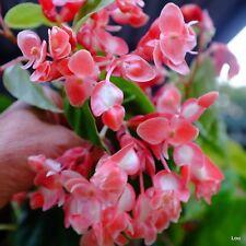 Rare Begonia Limmingheiana /Radicans # TRAILING SHRIMP PLANT # Indoor~Hanging