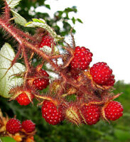 RARE 4 graines MÛRE DU JAPON (Rubus Phoenicolasius)H403 JAPANESE WINEBERRY SEEDS