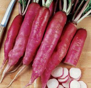 Ostergruss Rossa Radish - 25+ seeds - Semillas - Graines - Samen