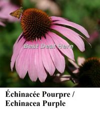 CONEFLOWER Echinacea PURPLE Purpurea 100+ Seeds Perennial RUDBECKIA EZ Long Last