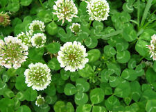 1/2 LB  Dutch White Clover Seeds Lawn Food Plot Bees Same Day Shipping