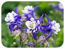 Aquilegia x vulgaris Winky 'Purple and White' Mini Plug Plant x 12 Columbine