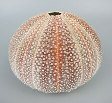 """Lovely pink vintage Atlantic Sea Urchin Natural Shell. Large - diameter about 5"""""""