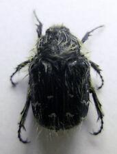 Tropinota (Epicometis) hirtiformis (Russia), A1 quality, pack x 3 specimens