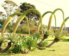 AGAVE ATTENUATA spineless agaves succulent plant seed rare aloe garden 100 SEEDS