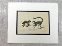 Antique Imprimé Mona Singe Vert Singes Primates Original Victorien Art