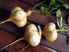 new 50 MEXICAN SWEET POTATO SEEDS JICAMA YAM BEAN ORGANIC RARE HEIRLOOM