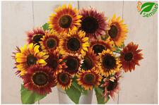 Girasol  belleza de otoño ( 100 semillas )Ornamental  -  Helianthus annuus seeds