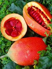 Rare Exotic Gac Fruit Seeds (Momordica cochinchinensis / Fahk Khao / Taw Thabu)