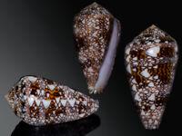 Seashell Conus dalli Gorgeous Dark! Very big! Gem 54.4 mm