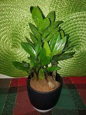 """Zamioculcas Zamiifolia Zz - 4"""" Nursery Pot"""