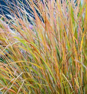 ANEMANTHELE LESSONIANA STIPA ARUNDINACEA PHEASANT'S TAIL 9 CM GRASS