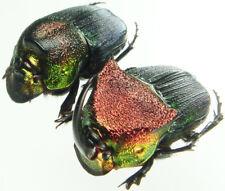 Insect - Phanaeus vindex - USA - X-Large Pair 22mm+/- ....!!