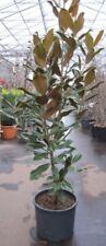 Magnolia grandiflora Goliath - Immergrüne Magnolie Goliath -