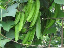 10 Graines The winged bean 'Psophocarpus tetragonolobus' Asparagus bean seeds