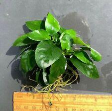 Live Aquatic Plant | Anubias nana | Clump