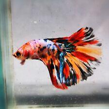 Live Betta Fish - Male - Koi Candy Rainbow Halfmoon (AMMAUG67) (High-Grade)