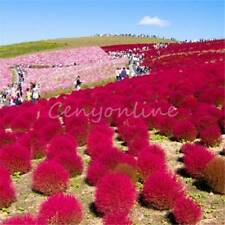 50X Heirloom Seed Grass Burning Bush Kochia Scoparia Red Flower Home Garden Farm