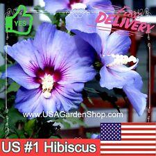 AZURRI Rose of Sharon Tropical Hibiscus Plant Malvaceae rose mallow Ship Fast