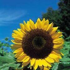 Herb Seeds - Sunflower - 100 Seeds