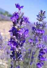 French Lavender Dried Lavender Buds 1 Pound - Dry Flowers Organic Aromatic SALE