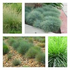 100Pcs Festuca Grass Seeds Beautiful Decorative Lawn Plants Garden Hardy Bonsai