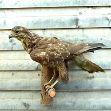 Vintage Taxidermy Mounts Real European Buzzard Hawk Wall Mounted Art Home Decor