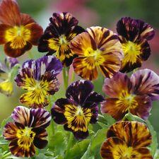 Kings Seeds - Viola Cornuta Brush Strokes - 50 Seeds