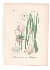 Antique Botanical Print Garlic Artus-Kirchner-1876