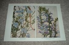 1900 Antique Color Print CHICORY SUCCORY & LOBELIA BLUE CARDINAL Flower