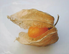 """50 Organic Ground Cherry Seeds """"Aunt Molly"""" Delicious and Unusual Fruit!"""