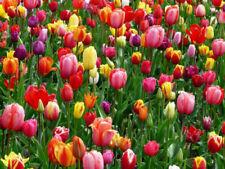 Garten-Sämereien & -Zwiebeln Tulipa