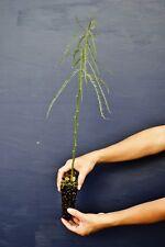 ACULEATA DE PARKINSONIA AFRICANA alv Estaca verde Mimosa flores planta jelly