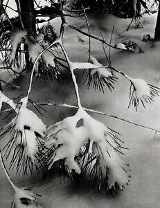 1932/63 ANSEL ADAMS Vintage PINE BRANCH Snow Yosemite Winter Landscape Art 11x14
