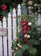 Hollyhock Burgundy Flower Seeds